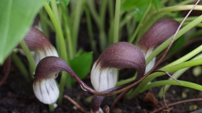 Arisamea proboscideum 4751