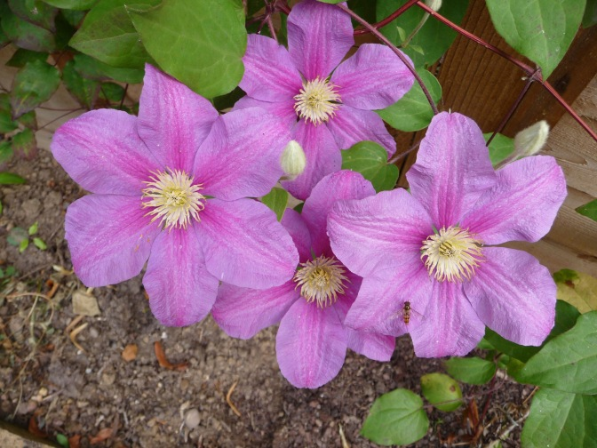 Clematis-Twilight-1661