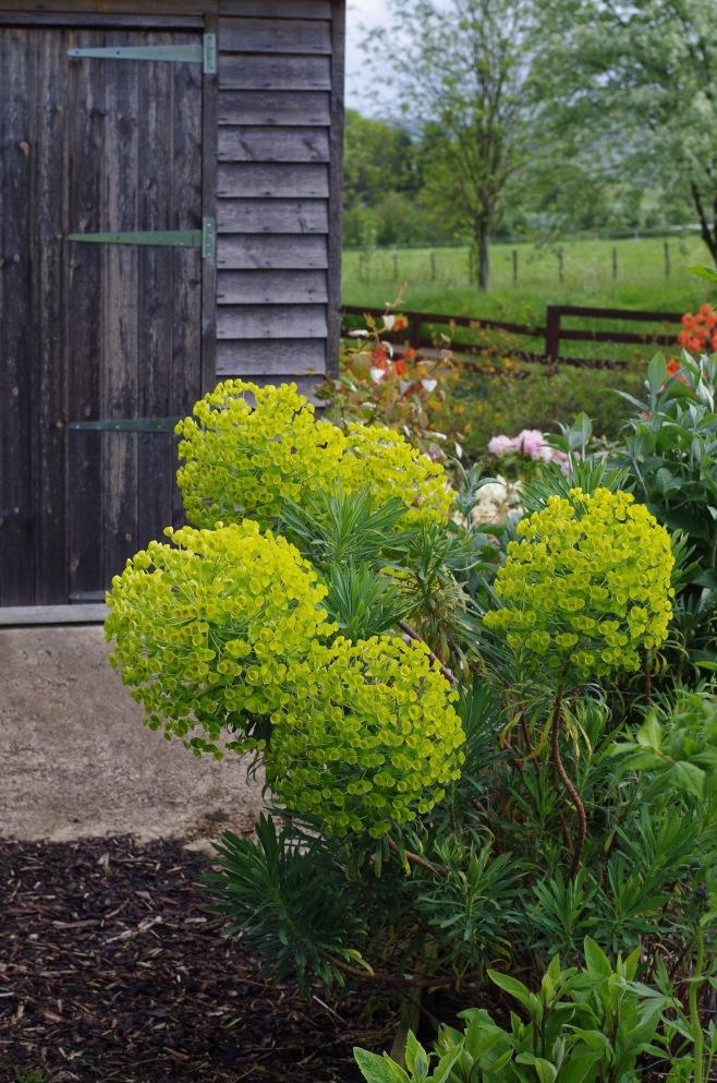 Euphorbia-characais-4530