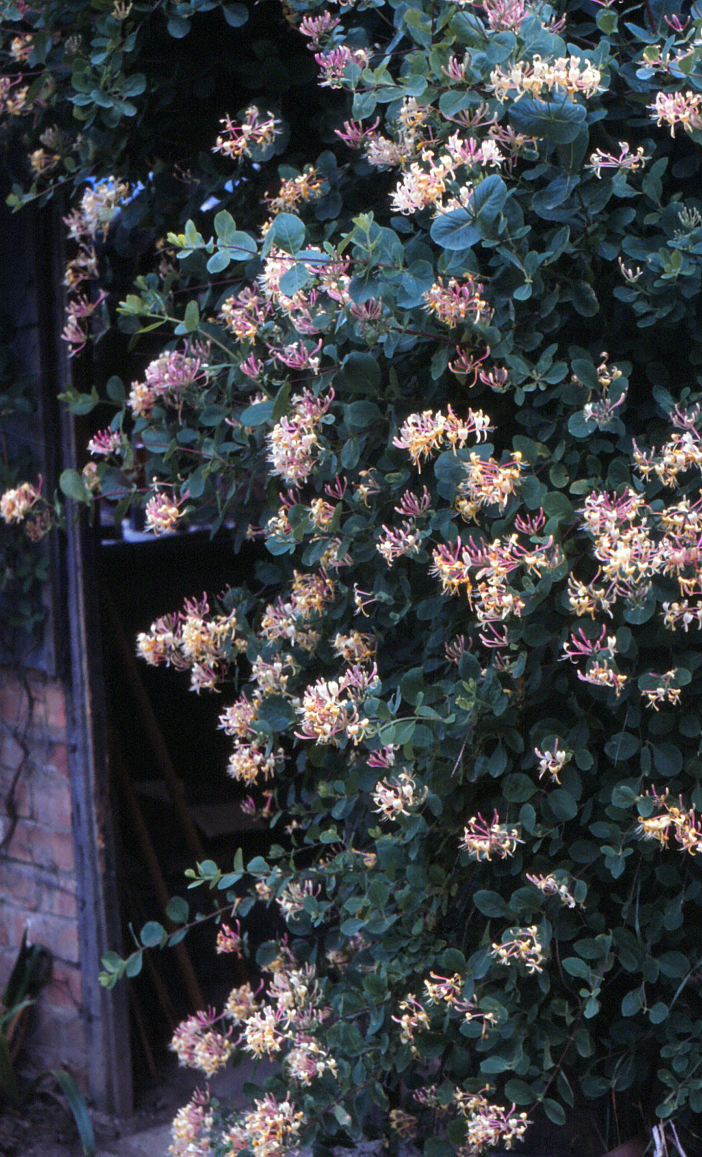 Lonicera-italica-on-potting-shed