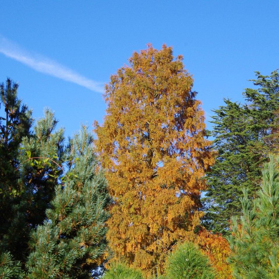 Metasequoia-glyptostroboides