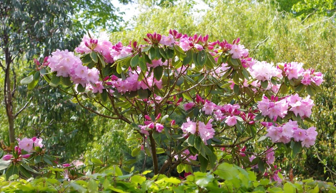 Rhododendron 'Naomi Pink Beauty'