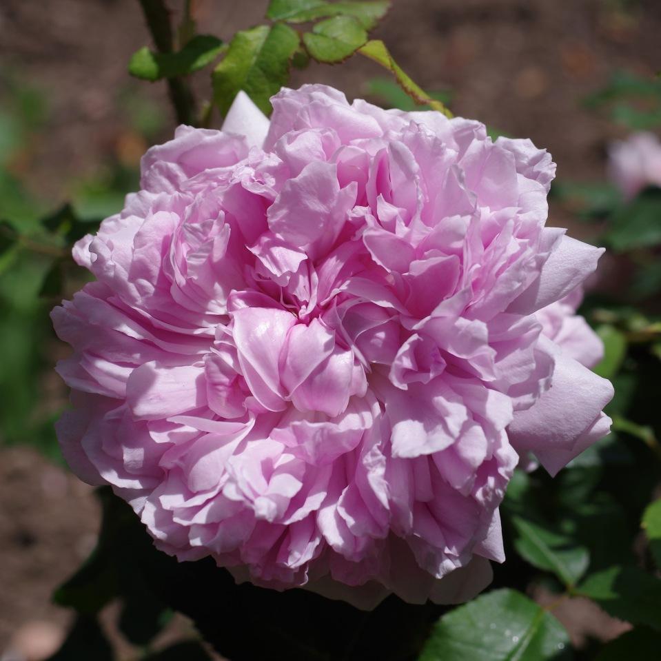 Rosa 'Empress Josephine'