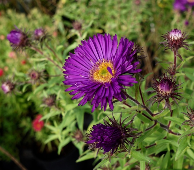 Symphyotrichum novae-angliae 'Helen Picton