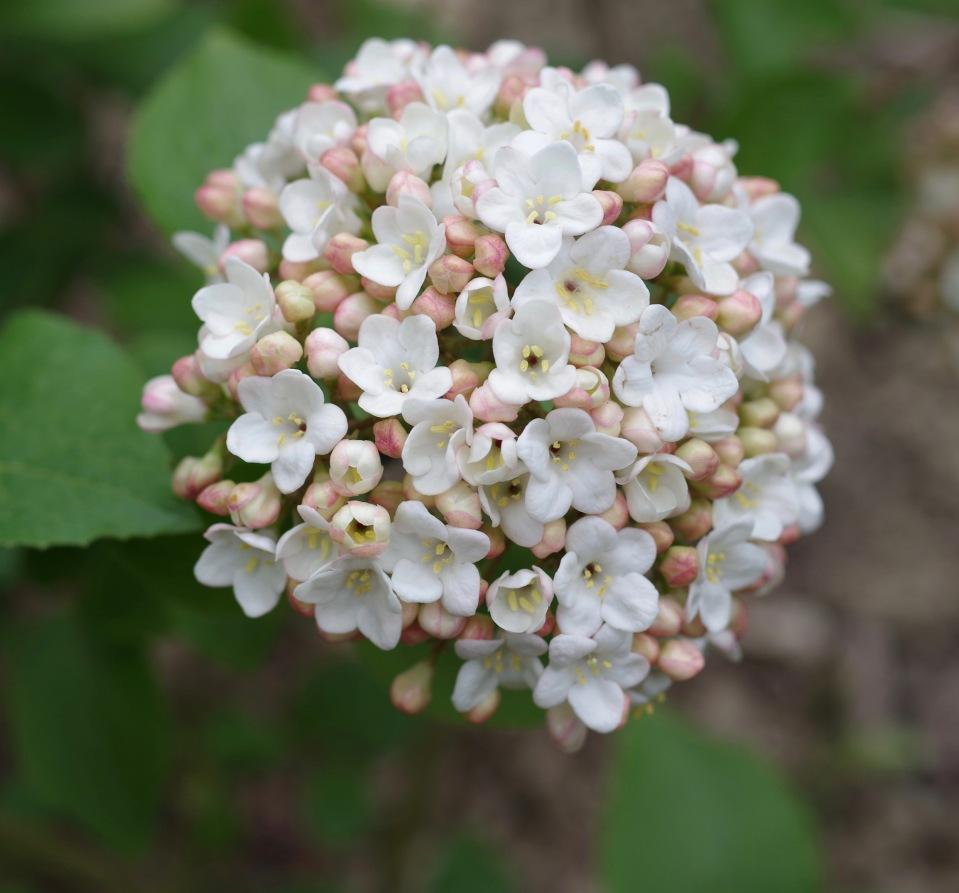 Viburnum x Carcephalum
