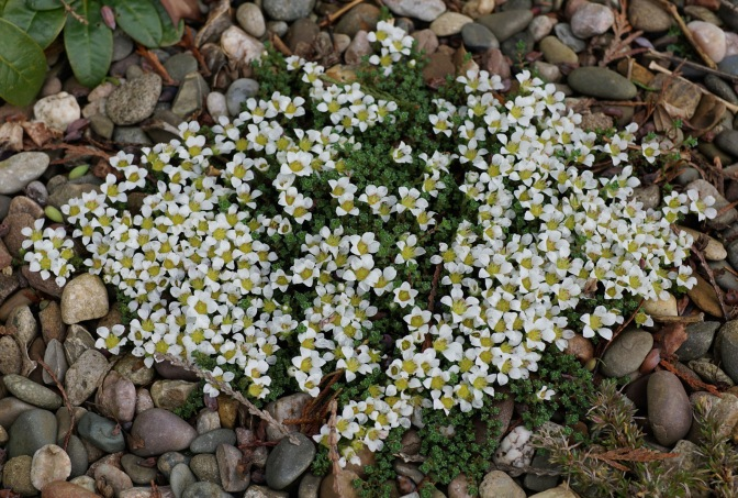 Saxifraga opositifolia Alba
