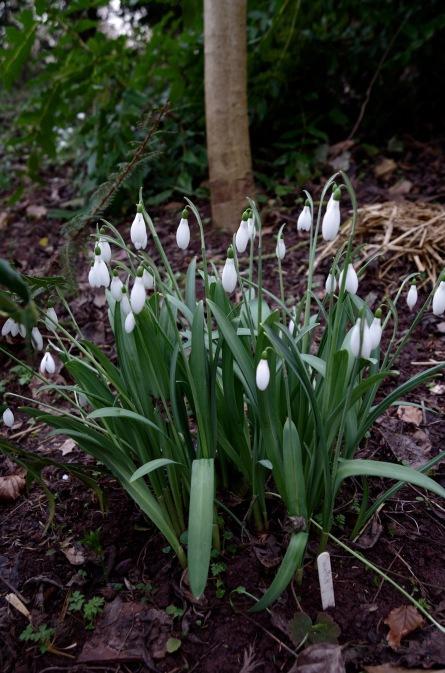 Veronica Cross's garden new seedling on trial