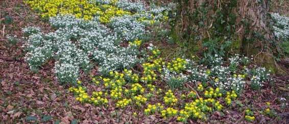 Galanthus nivalis and Eranthis Hiemalis