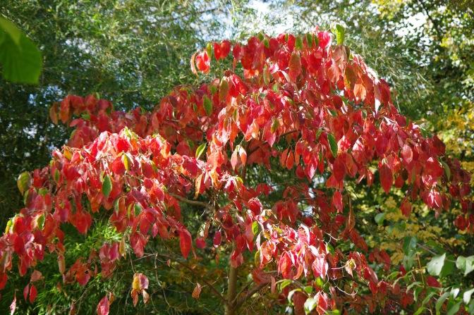 Eddies White Wonder in autumn