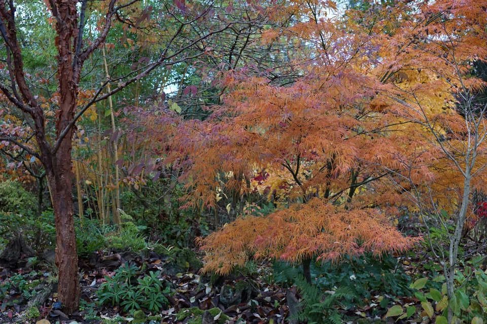Acer griseum and A.pal. 'Enkan'