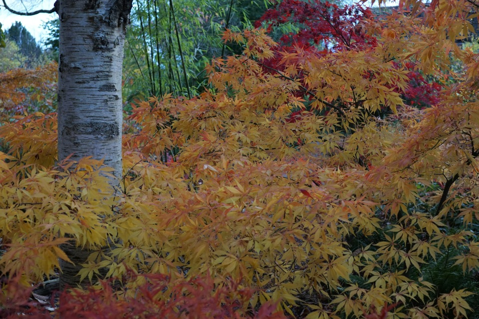 Acers and Betula