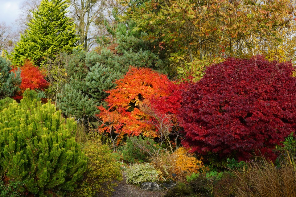 Acers and conifers