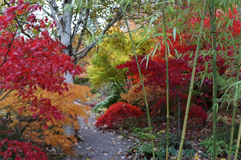 Bamboo and acers