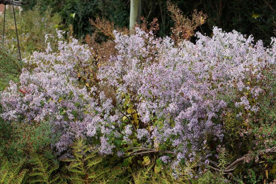 S. cordifolium 'Elegans'